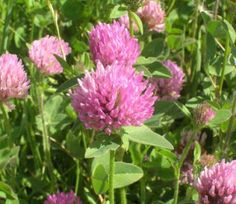 Red clover has many medical properties. The flowering heads of red clover improve urine production, circulation of the blood & secretion of bile. They also act as detergent, sedative and tonic. Red clover has the ability to loosen phlegm and calm bronchial spasms. The fluid extract of red clover is used as an antispasmodic and alterative. Red clover is used in the treatment of skin complaints (especially eczema and psoriasis), cancers of the breast, ovaries and lymphatic system, chronic…