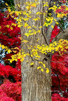 Yellow Elm Leaves Fronting a Red Japanese Maple Tree on an Autumn Day