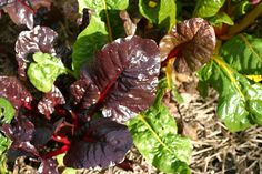 Swiss Chard has been wonderful and plentiful this year--and it keeps on coming!