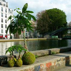 family day sur canal) #Kokedama #Pachira #Paris