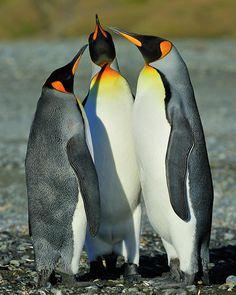 ✯ King Penguins Standoff