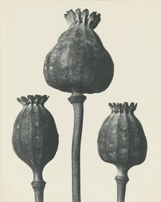 View Papaver orientalis - Mohnkapseln by Karl Blossfeldt on artnet. Browse upcoming and past auction lots by Karl Blossfeldt. Karl Blossfeldt, Botanical Art, Botanical Illustration, History Of Photography, Art Photography, Natural Form Art, Craft Museum, A Level Art, Patterns In Nature