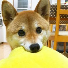 This cute Shiba Inu is ready to play!