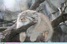 希少種「マヌルネコ」をご存知でしょうか? ずんぐりした体形とユニークな表情がファンを増やしている猫ちゃんです♪今回はそんな「マヌルネコ」の魅力をご紹介いたします!
