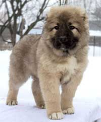 Russian Caucasian Mountain Dog Puppy
