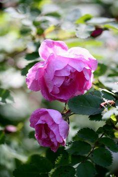 Suviruusu, Rosa 'Poppius'