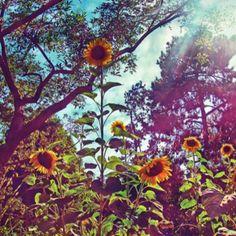 sunflowers<3