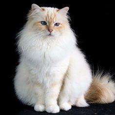It's #tabbythursday and here is the gorgeous creamtabby girl Chanel @iaresare #birmans #birman #sacredbirman #heligbirma #birmania #birmanie #pyhäbirma #instabirmans #birmansofinstagram #blueeyes #whitecats #fluffycats #instacats #catsofinstagram #cats #kittens #instakittens #kittensofinstagram #lovecats #birmavanner #tabbycats #toocute #beautifulcats #excellentcats #tortiecats #cutepetclub #cremetabby #creamtabby #creamcats