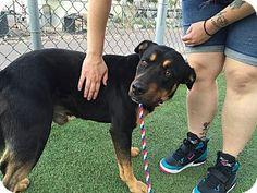Gilbert, AZ - Rottweiler Mix. Meet Aladdin, a dog for adoption. http://www.adoptapet.com/pet/12361492-gilbert-arizona-rottweiler-mix