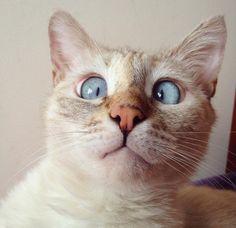 A gatinha siamesa Muni está conquistando o coração dos internautas. A pequena estrábica nasceu em 2012 e logo foi jogada no lixo nas ruas da Armênia. Por sorte, ela foi resgatada por Ani Hovsepian, que criou uma conta no Instagram com as imagens mais fofas de seu animal de estimação.