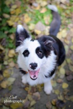 "Black and white Border Collie with atypical ""panda"" marking (this dog has a colored eye and ear region and a white face, very similar to the pandas coat). Pets, Pet Dogs, Dogs And Puppies, Dog Cat, Doggies, Collie Dog, Border Collie Puppies, Australian Shepherds, West Highland Terrier"