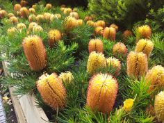Star of the season Dwarf Banksia Australian garden Cottage garden Beautiful Ideas Farm gardens are colorful, wild and provide you with fruits and vegetables. If you plan your farm garden prope Australian Garden Design, Australian Native Garden, Australian Native Flowers, Australian Plants, Australian Bush, Bush Garden, Drought Tolerant Garden, Small Shrubs, Cottage Garden Plants