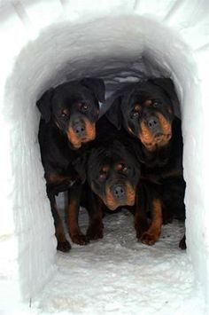 Rottweiler's photo.