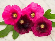 Wonderful shades of soft to bright pink flowers. Tall plants produce old-fashioned single flowers.