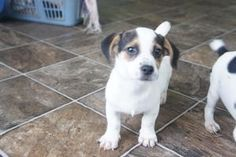 Denver is an adoptable Jack Russell Terrier Dog in Delta, OH. Name -Denver Name -Gabby Breed -Malte Poo Age - DOB (estimated) 8weeks Gabbyhas been wormed and vaccinated. She and her sistersha...