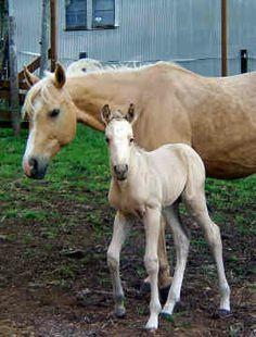 Cute American Quarter Horse Palamino