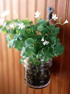 Oxalis plant... time to plant for St Patrick's Day  9 or just for a  boost during this winter season!