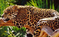 A onça-pintada é o maior felino do continente americano.Possui uma beleza inestimável e seu peso pode variar entre 35 e 130 kg , os machos são mais pesados do que as fêmeas.