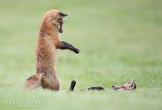 Tow fox kits playing together #fox #marathon #red fox #animals #nature #photography #wildlife