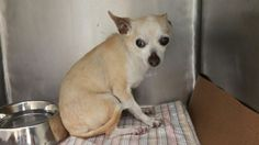 SUPER URGENT 07/01/16 BUTTERSCOTCH – A1079560  NEUTERED MALE, TAN, CHIHUAHUA SH MIX, 8 yrs STRAY – STRAY WAIT, HOLD RELEASED Reason STRAY Intake condition UNSPECIFIE Intake Date 07/01/2016, From NY 10312, DueOut Date07/05/2016,