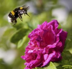 How To Attract Bumble Bees: Tips For Attracting Bumble Bees To The Garden