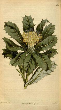 Banksia sessilis - australia Missouri Botanical Garden, Botanical Gardens, Protea Plant, Kings Park, Sandy Soil, Old Book Pages, Art Clipart, Small Trees, Picture Collection