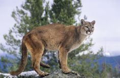 Mountain Lion Safety with Kids