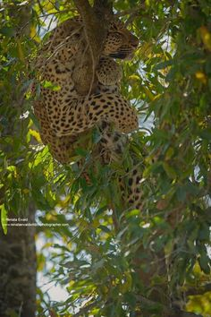 "Leopard: ""Here I am in this tree ~ so content with just being me!"" (Written By: Lynn Chateau © ) Photo By: © Renala Ewald. www.renalaewaldwildlifephotographer.com"