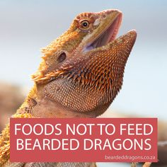 Foods not to feed to Bearded dragons Bearded Dragon Vivarium, Bearded Dragon Enclosure, Bearded Dragon Terrarium, Bearded Dragon Habitat, Bearded Dragon Food List, Pet Dragon, Reptile Cage, Reptile Enclosure, African Cichlids