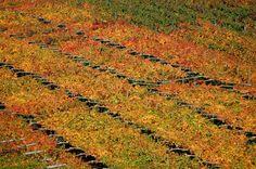 Autumn land of Tenuta San Leonardo, Trentino    http://www.facebook.com/photo.php?fbid=402918033110721=a.172051606197366.40803.167663873302806=1
