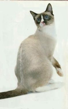 Snowshoe cat