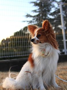 Beautiful red and white Papillon dog