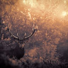 stag in autumn