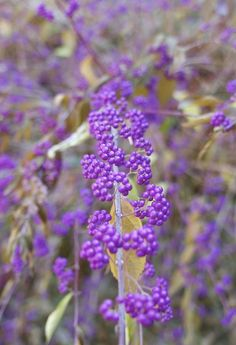 Fall Decorating Ideas: Make Floral Arrangements with Purple Callicarpa — The Gardenist