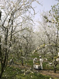 Setting beehives in the orchard