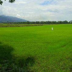 Campos de Arroz... Rice fields... #arroz #rice #fields #campo #NUTRIVESA