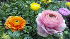 soft colors for Spring-Ranuculus  www.honeymannursery.com