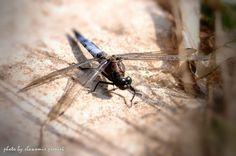 Dragonfly by Sławomir Pieniek on 500px