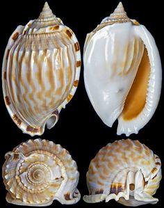 Phalium fimbria (Gmelin, 1791)  -  C.Chen