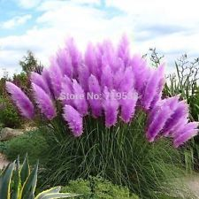 100pcs Rare Purple Pampas Grass Seeds Home Garden Flowers Cortaderia Selloana