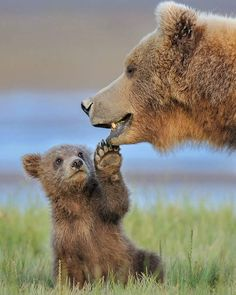 Brown Bear Animals facts Animals Brown bear myths or brown bear facts? They are amazing creatures. Bears don't actually hibernate and can walk up to in a day. Baby Animals Super Cute, Cute Little Animals, Cute Funny Animals, Mother And Baby Animals, Baby Animals Pictures, Cute Animal Pictures, Random Pictures, Funny Bear Pictures, Pictures Of Baby Animals