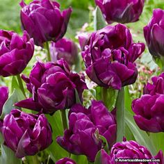 Double Late Tulip Bulbs Purple Peony, Tulipa, Double Late Tulips, – Tulip Bulbs from American Meadows Tulips Garden, Garden Bulbs, Planting Bulbs, Garden Soil, Planting Flowers, Flowering Plants, Fall Planting, Purple Garden, Bulb Flowers