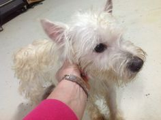 In honor or St. Patty's Day, all this week's dogs will be given irish names.  We think Finnegan which means white haired one, is fitting for this cute little westie boy.  Finnegan was a stray dog, and is a little matted and neglected looking now, is...
