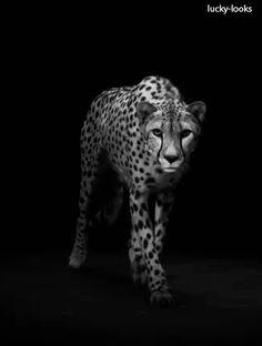 Gif-Cheetah