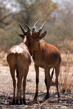 Western Hartebeest (Alcelaphus buselaphus major, Bubale)