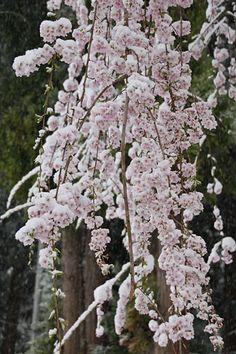 亀倉神社の桜 4/21(満開) Plants, Plant, Planets