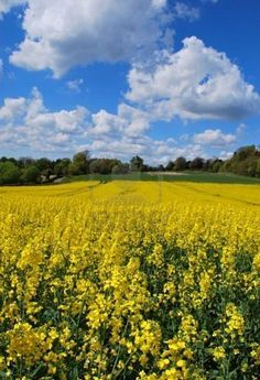 Rapeseed growing in a field in the Kent countryside in England
