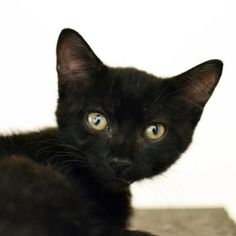 Cash is a curious kitten who is available for adoption at our Mission campus!