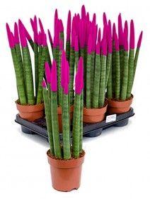 Sansevieria velvet touch 45 cm wurden die Spitzen in Farbe eingetaucht Blue Succulents, Petunias, Asparagus, Palm, Velvet, Vegetables, Flowers, Diy, Gardening