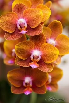 Moth-Orchid: Phalenopsis sp. - New York Botanical Garden Orchid Show, 2011 - Flickr - Photo Sharing!